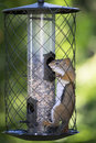 Funny american red squirrel a tenacious finds its way inside the proof cage of a backyard bird feeder Royalty Free Stock Photo