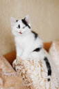 Funny angry kitten Royalty Free Stock Photo