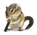 Funny animal chipmunk searching with loupe, on white