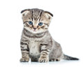 Funny baby cat kitten fold scottish Royalty Free Stock Photos