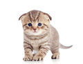 Funny baby fold Scottish kitten Royalty Free Stock Photo