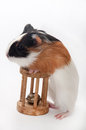 Funny baby guinea pig playing toy wooden over white background Stock Images