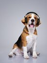 Funny beagle with a headphones Stock Image