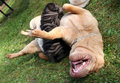 Funny bitch with small sharpei puppy Stock Images