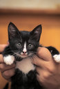 Funny black and white kitten in arms Stock Photo