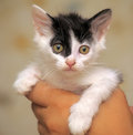 Funny black and white kitten in arms Royalty Free Stock Photography