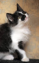 Funny black and white  kitten Royalty Free Stock Photo