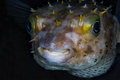 Funny blowfish diodon nicthemerus close up portrait tropical coral reef scene underwater photo Stock Image