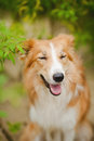 Funny border coollie dog laughs summer Royalty Free Stock Image