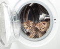Tabby british kittens inside laundry washer Royalty Free Stock Photo