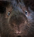 Funny brown cavy Stock Photos