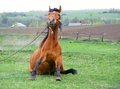 Funny brown horse sitting on green field Royalty Free Stock Image