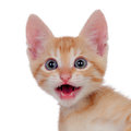 Funny brown kitty meowing isolated on a white background Stock Image