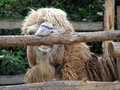 Picture : Funny camel in zoo three camel