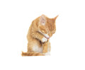 Funny cat licks a paw Royalty Free Stock Photo