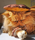 Funny cat and mushrooms red lying near the the on the head of the mushroom cap Stock Photography