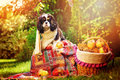 Funny cavalier king charles spaniel dog sitting in white knitted scarf with apples in autumn garden near basket Stock Photo