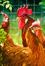 Funny chickens in the garden Stock Image