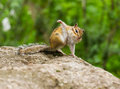 Funny chipmunk amusing tamias sibiricus in the wildlife sitting on the stone leaning against the stone by one foreleg and Royalty Free Stock Photo