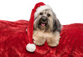 Funny christmas dog with a santa hat is lying on a red blanket bichon havanese in velvet isolated white background Royalty Free Stock Photography