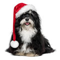 Funny christmas havanese dog with santa hat and white beard happy sitting bichon in a isolated on a background Royalty Free Stock Photo