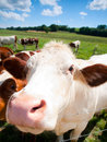 Funny close up of a cow grazing in field in the summer Royalty Free Stock Photos