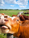 Funny close up of a cow grazing in field in the summer Royalty Free Stock Images