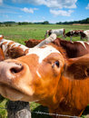 Funny close up of a cow grazing in field in the summer Royalty Free Stock Photography