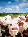 Funny close up of a cow grazing in field in the summer focus on the nose Stock Photography