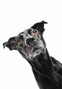 Funny closeup of a cute mutt waiting for a treat Stock Photography
