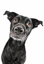 Funny closeup of a cute mutt waiting for a treat Royalty Free Stock Image