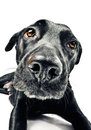 Funny closeup of a cute mutt waiting for a treat Royalty Free Stock Photography