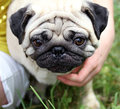 Funny closeup of mops. Stock Photography