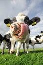 Smiešny krava