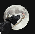 Funny cow on the background of large bright moon. A black and white cow moans at the moon. Royalty Free Stock Photo