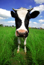 Funny cow in green field Royalty Free Stock Photo