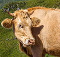 Funny cow on green meadow, Madeira Royalty Free Stock Photo