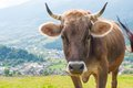 Funny cow on a green summer meadow. Blurred Royalty Free Stock Photo