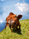 Funny cow snout licked oneself portrait at the green meadow Royalty Free Stock Photos