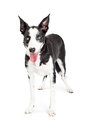 Funny crossbreed dog rolling eyes up a cute young black and white color standing and his to look image taken isolated on a white Royalty Free Stock Photography