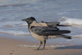 Funny crow on the beach Royalty Free Stock Photo