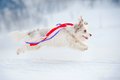 Funny curly dog running fast colored ribbons fluttering wind Royalty Free Stock Photography