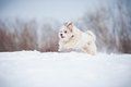 Funny curly dog running fast winter Royalty Free Stock Images