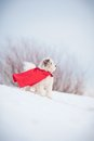 Funny curly super hero dog wearing red cloak Stock Photography