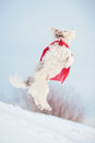 Funny curly super hero dog wearing red cloak jumping sky Stock Images