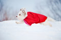 Funny curly super hero dog wearing red cloak running fast winter Stock Photography
