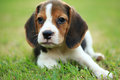 Funny cute beagle dog in park