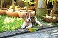 Funny cute beagle dog in park