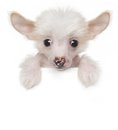 Funny cute Chinese crested puppy above white banner Royalty Free Stock Photo