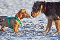 Funny cute Dachshund dog meets Airedale pup Stock Photos